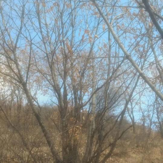 長期供應叢生蒙古櫟