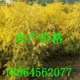 5公分黄金宝树