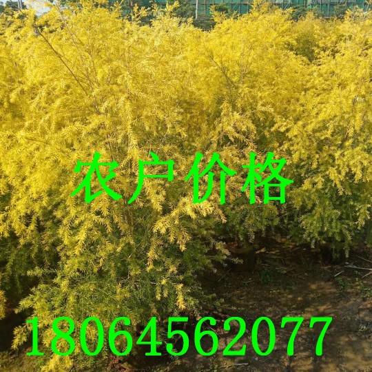 5公分黃金寶樹