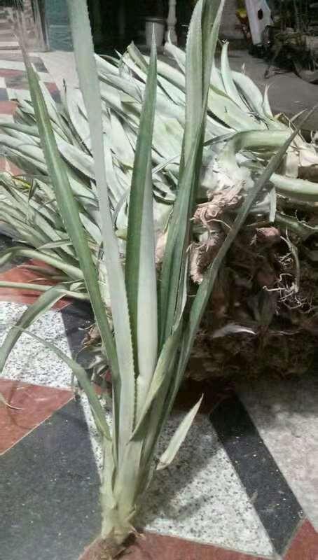 臺灣菠蘿苗  綠化工程苗