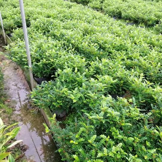 高度25-30公分胡椒木