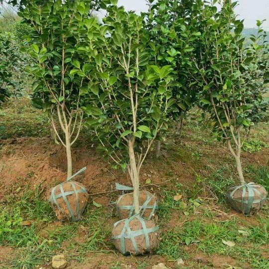 2米茶花价格 宁波茶花种植基地