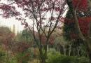 2-15公分精品红枫