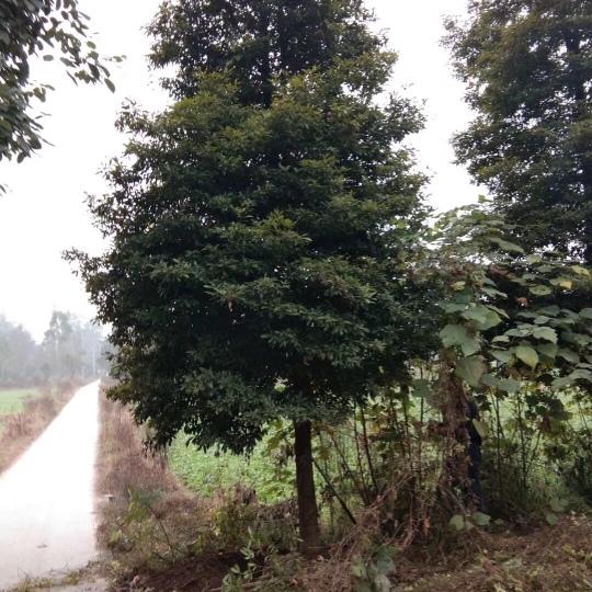 5-30公分精品楠木銷售