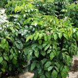 直径8-20公分南海菜豆(幸福树)