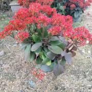 高度30-50公分长寿花