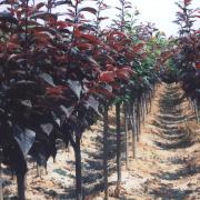 4-5-6公分紫叶李树基地直销