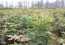 米径2公分五角枫五角槭色木槭
