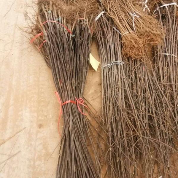 1米高桃树苗