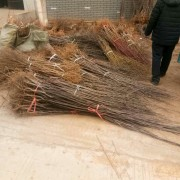 1.5米高板栗苗