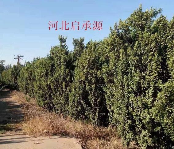 北海道黃楊(成樹)