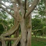 大型造型榕树-大叶榕
