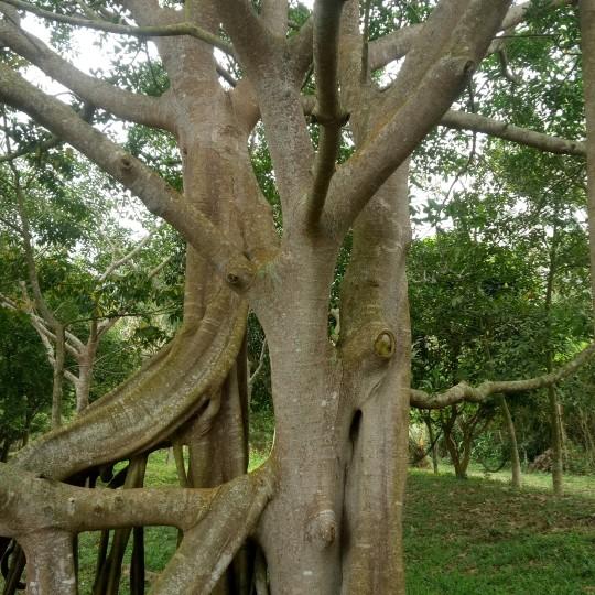 大型造型榕樹-大葉榕