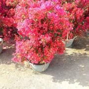 40公分高红花三角梅