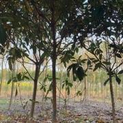 地径6公分枇杷树价格
