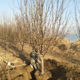 13公分八棱海棠树