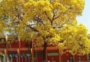 黄花槐胸径5-18公分