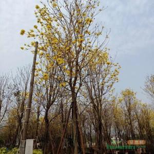 15公分福建多花风铃木