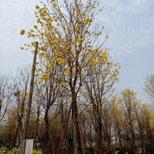 黄花风铃木18公分