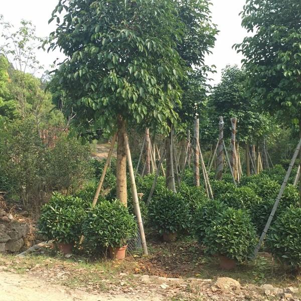 米径10-35公分福建重阳木
