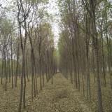 清地处理榆树、给钱就卖