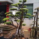 百年小叶赤楠地景树
