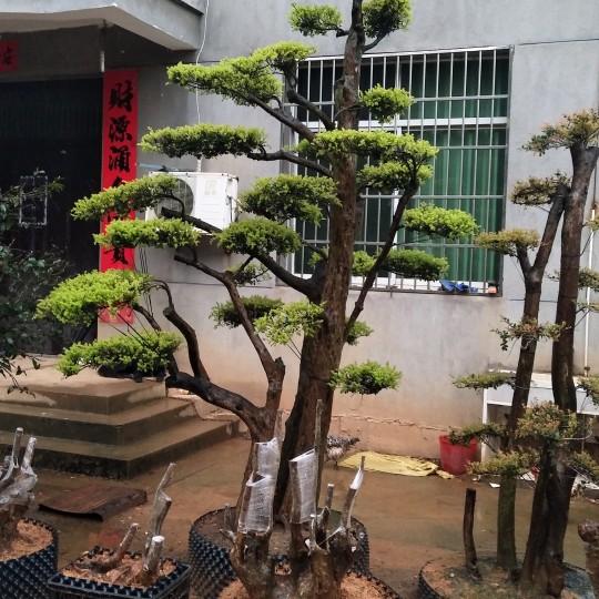 百年小葉赤楠地景樹