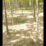 周口金叶复叶槭