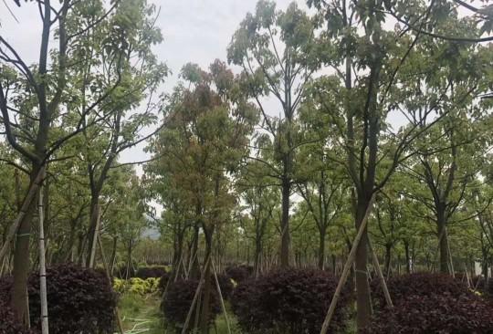 10公分12公分15公分全冠香樟移植 熟货
