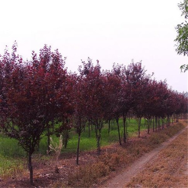 4公分紫叶李