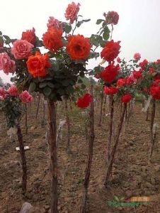 大花树桩月季