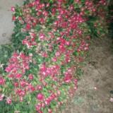 波赛尼娜(玫瑰)