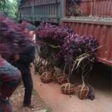 1.2米红花檵木球
