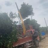 地径10公分枇杷树