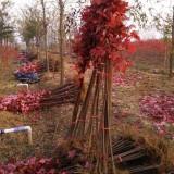 高1.5米美国红枫