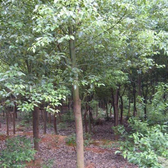 10公分香樟树