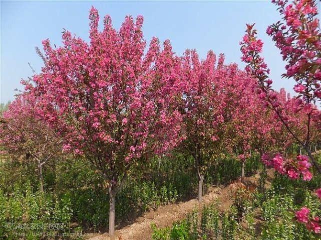 紅寶石海棠