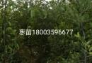 丛生五角枫