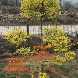 景观造型金叶榆