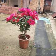 50cm盆栽红花三角梅出售