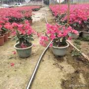 50cm盆栽红花三角梅销售