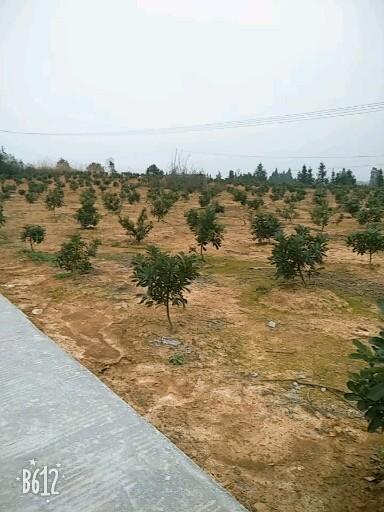 杨梅苗1~5公分杨梅种苗6~25公分杨梅绿化树苗