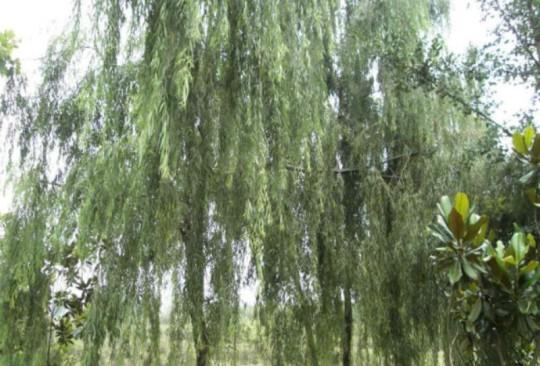 垂柳 柳树