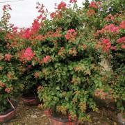 盆栽红花三角梅