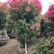 红花三角梅自产自销