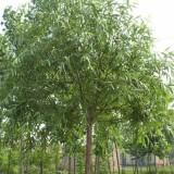 旱柳  柳樹