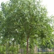 旱柳  柳树