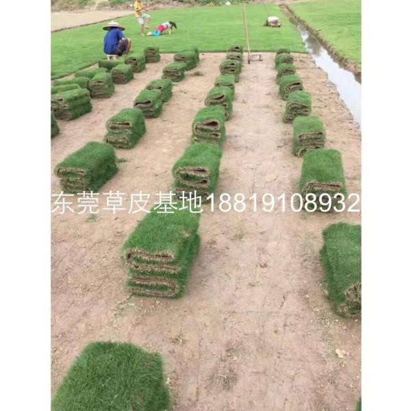 东莞台湾草皮