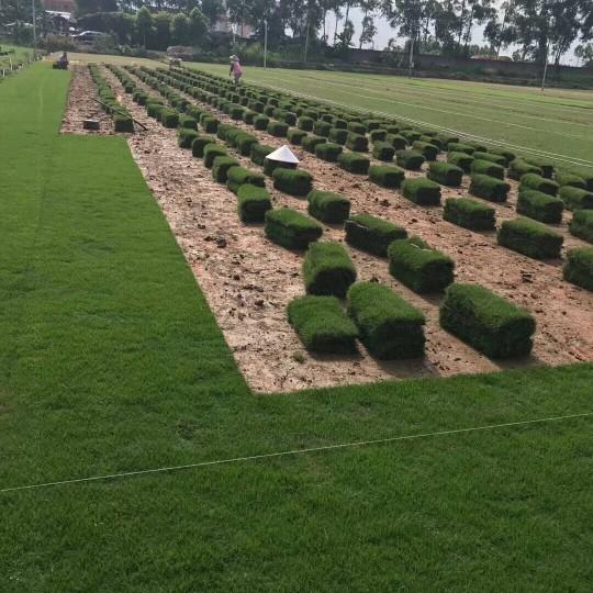 广州黄埔绿化草皮供应