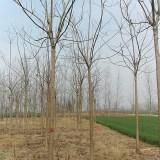 8公分10公分梓树价格